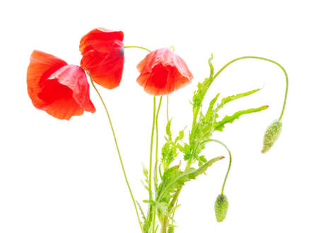 Three red poppies isolated on a white background.