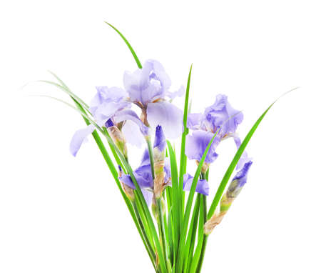 Blue irises in the grass isolated on a white background.