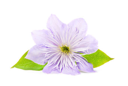 Blue clematis with green leaves isolated on white background.