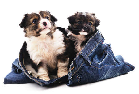 Two puppies in trousers isolated on a white background.