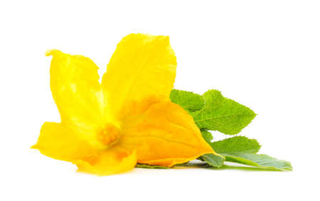 Yellow pumpkin flower isolated on a white background.