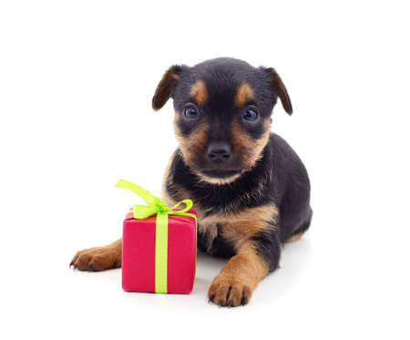One little dog with a gift isolated on a white background.