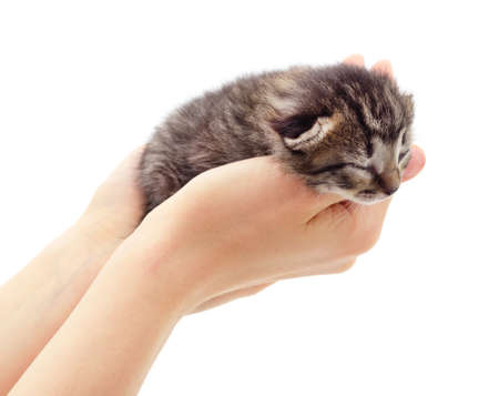 Little gray kitten on the hands isolated on a white background. Foto de archivo