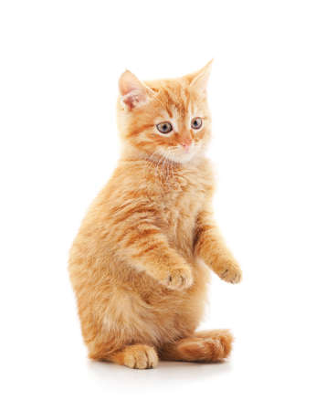 Little red kitten isolated on a white background.