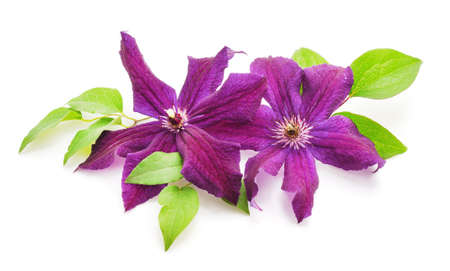 Purple clematis with green leaves isolated on white background. Stock Photo