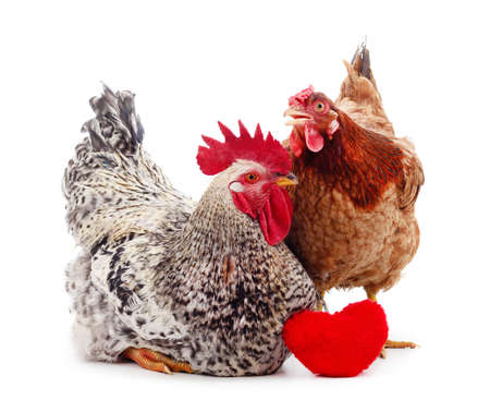 Two small chickens with a toy heart isolated on white background.