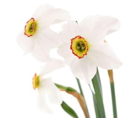 Three white beautiful daffodils isolated on white background.