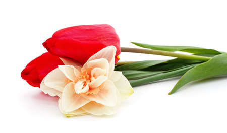 Pink daffodil and red tulips isolated on white background.