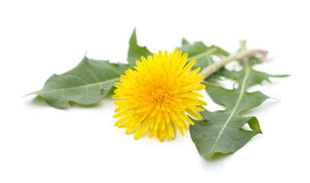 One yellow dandelion isolated on white background.