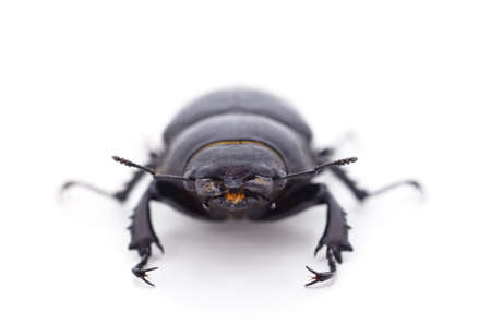 Brown deer beetle isolated on a white background.