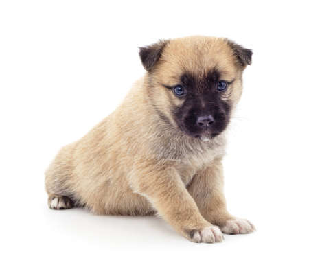 One little dog isolated on a white background.