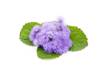 Ageratum violet with leaves isolated on a white background.