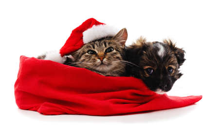Puppy and cat in Christmas bag isolated on a white background.