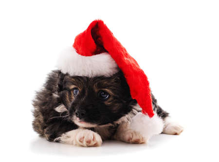 One dog in a Christmas hat isolated on a white background.