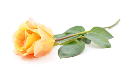 Beautiful pink roses isolated on a white background. Stock Photo
