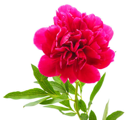 One pink peony isolated on a white background.
