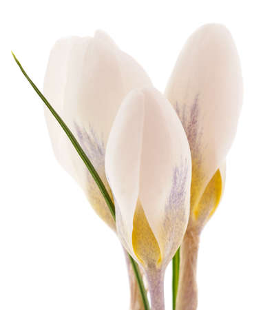 White bouquet of crocuses isolated on white background. Фото со стока