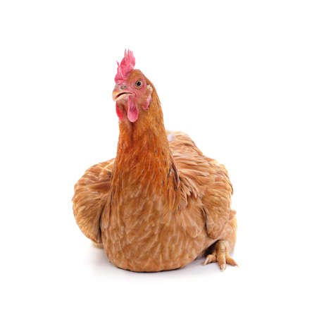 Small brown chicken isolated on a white background.