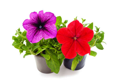 Red and purple petunia in pots isolated on a white background.