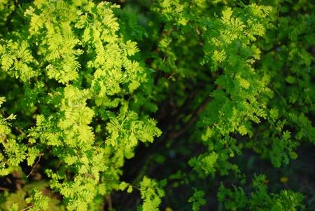 Yellow acacia or caragan tree