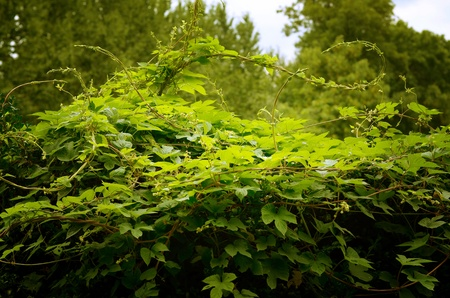 Bush green ivy in the forest or garden