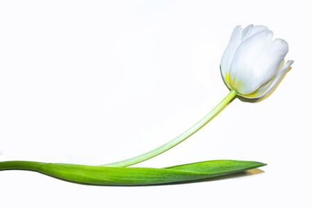 White tulip with green leaves Isolated on a white background. White tulip in horizontal position with space for text. Congratulations on International Womens Day. Archivio Fotografico