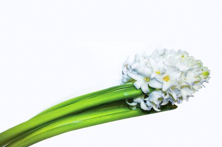 White hyacinth with green leaves Isolated on a white background. White hyacinth in horizontal position with space for text. Spring card. Congratulations on International Women's Day.