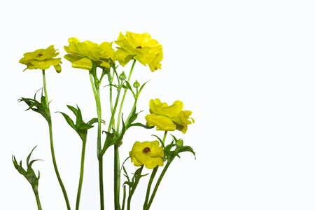 Yellow buttercups with green stems and leaves isolated on a white background. Spring wildflowers. Greeting card for International Women's Day March 8. Archivio Fotografico