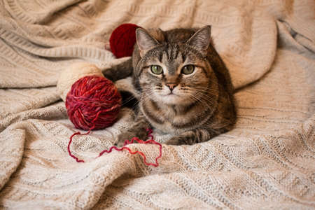 Brown striped cat lies on knitted woolen beige plaid with balls of threads. Little cute cat. Archivio Fotografico