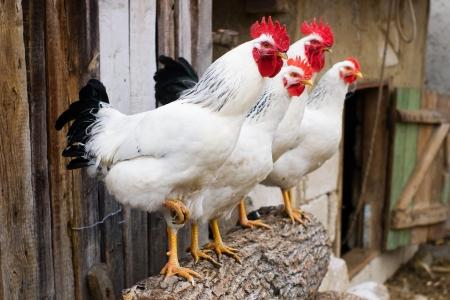Fila di polli e galli, con messa a fuoco selettiva