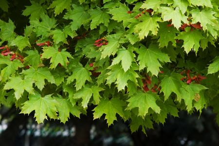 Green maple leaves with red seeds and dark bottom Stock Photo - 4779712