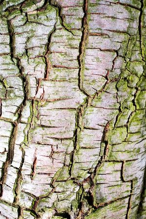 Closeup of pear tree bark seamless texture with green moss