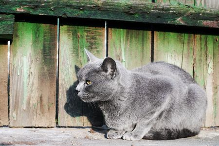Russian blue cat sitting on all fours near old wooden picket fence with selective focus photo