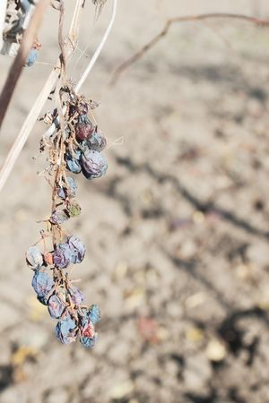 moldy: Bunch of dry moldy grapes on vine against blurred land with selective focus Stock Photo
