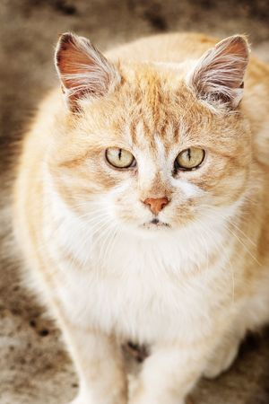 Closeup portrait of red haired cat with selective focus on face and blurred body Stock Photo - 6175018