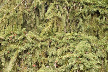 Background of many fir tree branches with red small cones photo