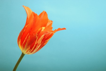 Closeup of blossomed bud of red tulip flower against cyan background with selective focus photo