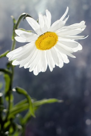 Closeup of blossomed white daisy flower with shallow depth of field and copy space below photo