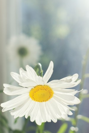 Closeup of blossomed white daisy flower in the morning with shallow depth of field and copy space above photo