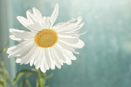 Closeup of blossomed white daisy flower in the morning with shallow depth of field and copy space  photo