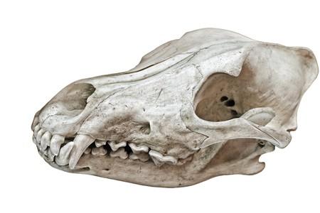 huesos: Cr�neo de un animal con dientes aislados en blanco  Foto de archivo