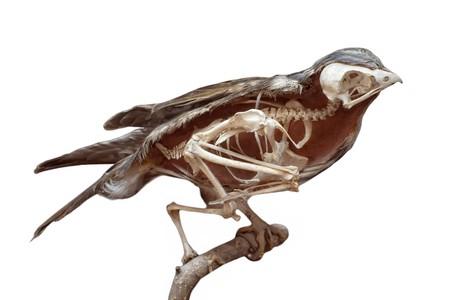 Sezione di uccello farcita con scheletro interno isolato sul bianco