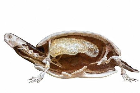 Section of stuffed turtle with skeleton inside isolated on white with copy space