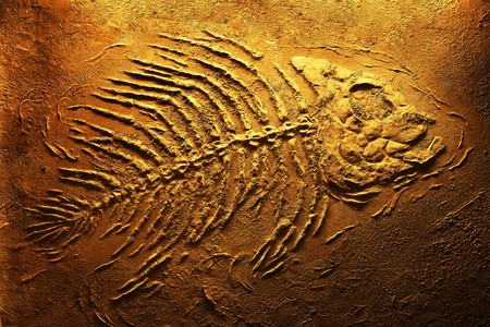 Closeup of big piranha fish skeleton fossils