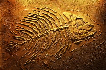 Closeup of big piranha fish skeleton fossils