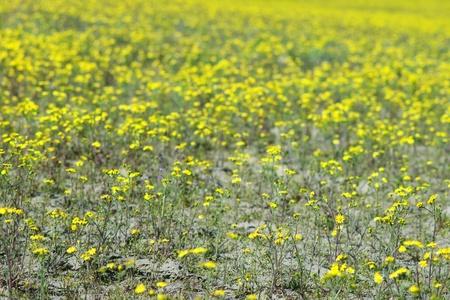 Sandy soil: Campo de margaritas amarillas con enfoque selectivo en suelo arenoso