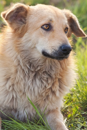 Sad red mongrel dog lying on green grass looking sideways with selective focus Stock Photo - 9426653