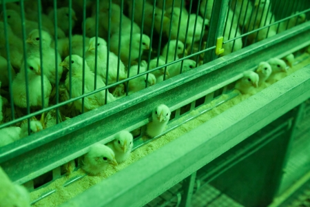 Baby chicks looking out of cage under green light with selective focus