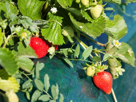 Ripe strawberry growing on bush covered by film with selective focus Stock Photo