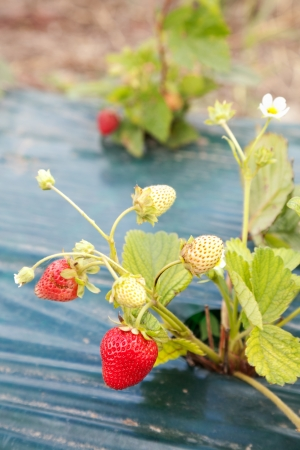 Closeup of ripe strawberry growing on bush covered by film with selective focus